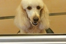German Car Depot   Volkswagen, Audi, Mercedes Benz, BMW, Mini - LuLu says come on down to the Depot ,German Car Depot  LuLu is our white STD Poodle and a certified therapy dog . Her clean white hair is proof the customer lounge is the cleanest of any shop around.